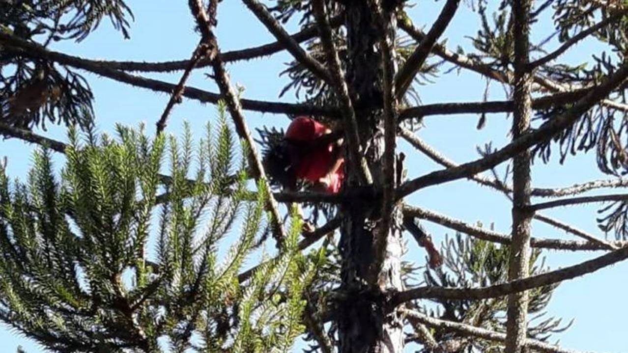 Homem sobe em árvore para colher uma pinha e morre eletrocutado