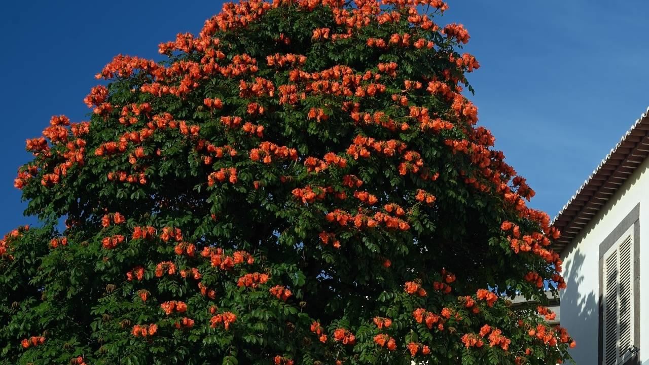 Árvore espatodea terá plantio proibido em Cascavel e poda autorizada