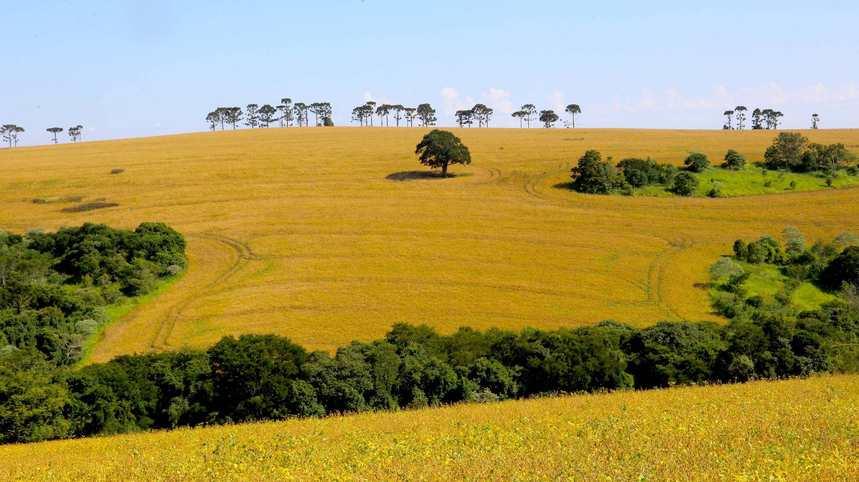 Boletim agropecuário comenta produção de arroz no Paraná