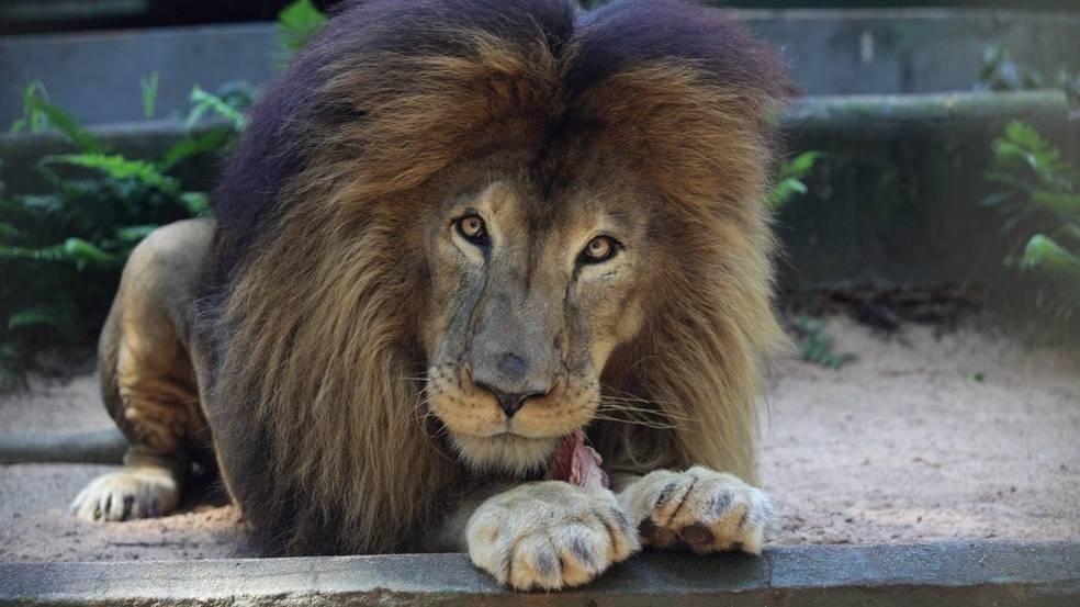 Símbolo da luta contra maus tratos animais, Leão Gaúcho ruge pela última vez