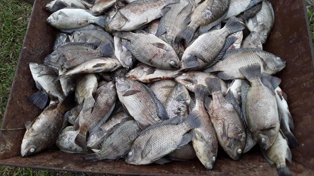 Peixes morrem por causa do frio no Paraná