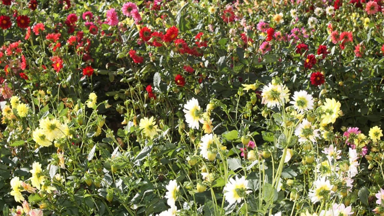 Floricultura é destaque do boletim agropecuário