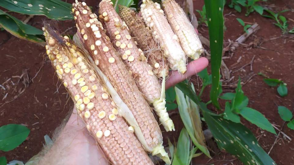 Produtores de milho devem adotar cuidados para controle de doença nas lavouras