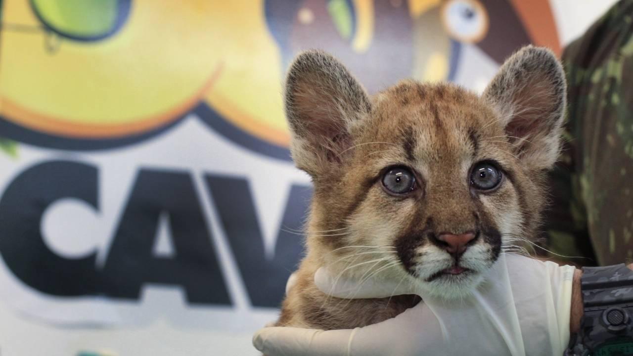Kiara é o nome da oncinha parda, nova moradora do Zoológico de Cascavel