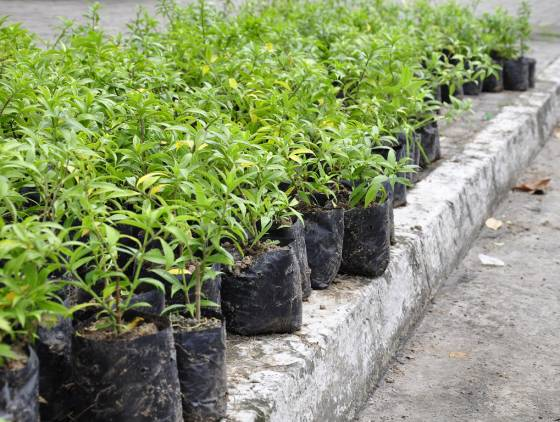 Mudas de árvores serão trocadas por alimentos em Cascavel