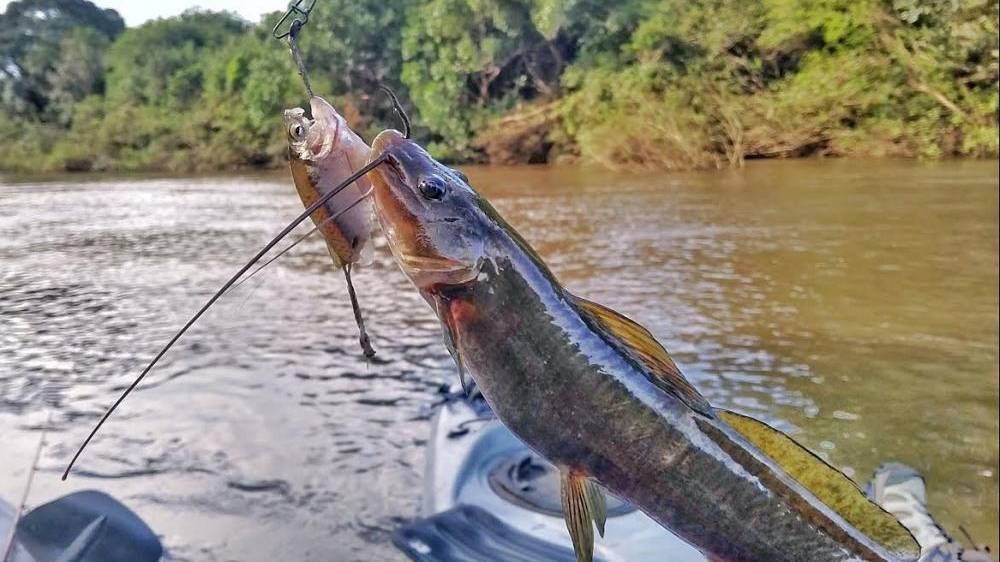 Advertência: Peixes do Baicuru estão contaminados com vermes