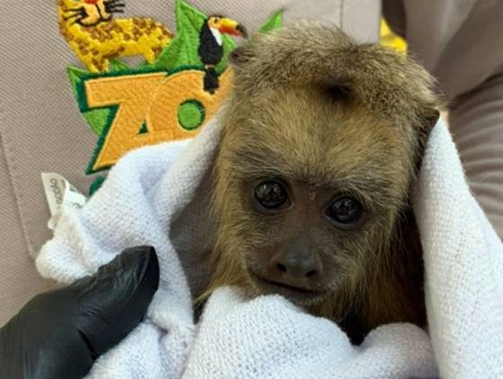 Nascimento de filhote de bugio ruivo renova ciclo de vida no zoológico de Cascavel